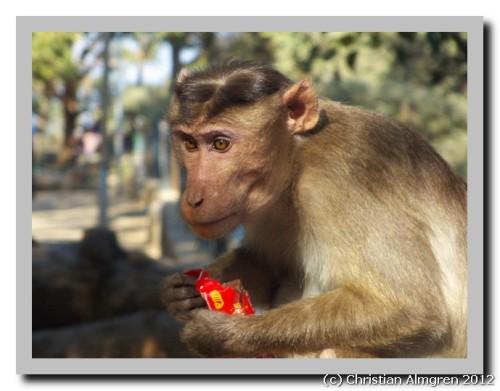 Monkey eating chocolate bar